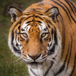 Conservationists fear hacking of GPS collar data to cyberpoach rare Bengal tigers